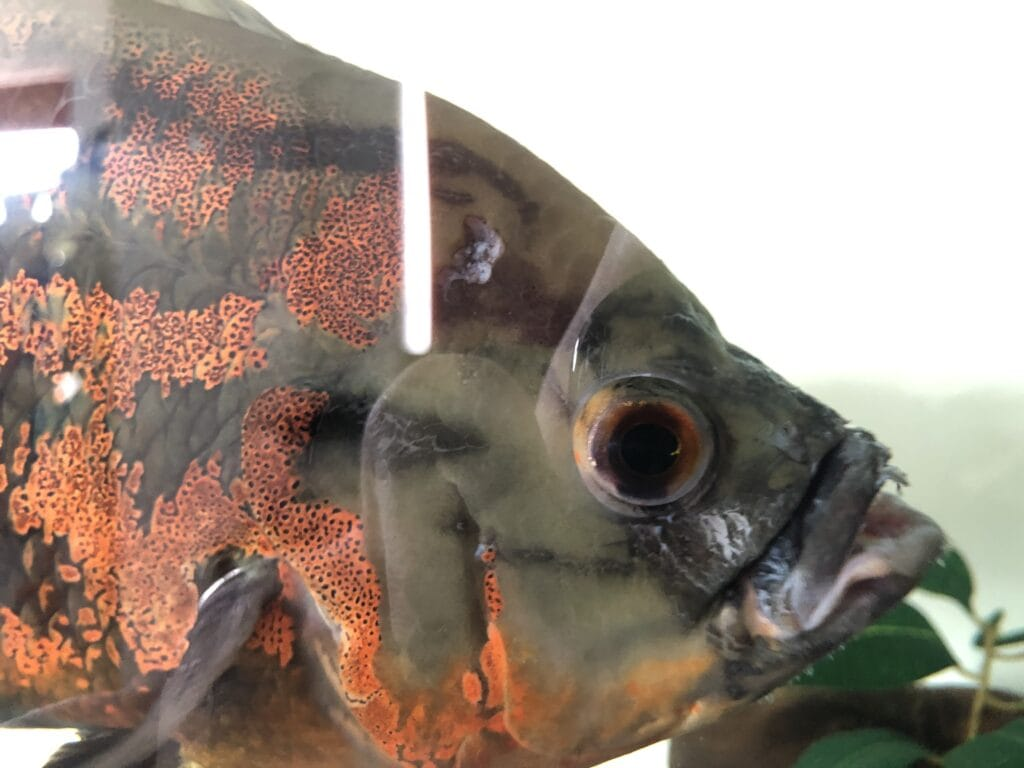Oscar fish with injured face